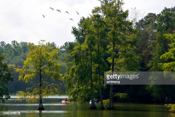 canoeing in summer at trap pond state park - bald cypress tree stock photos and pictures