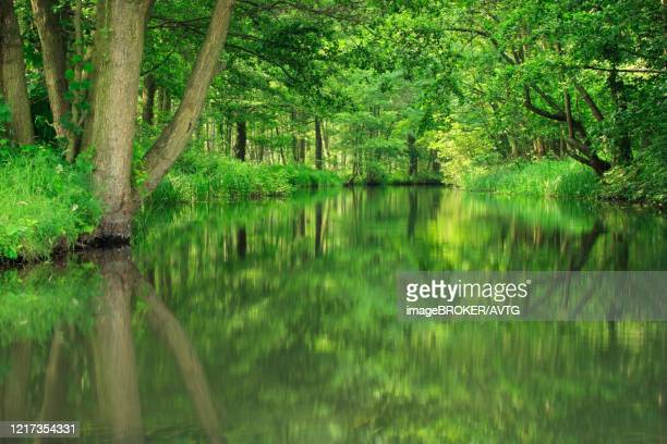 canoeing through the spreewald, dense forest reflected in the water of a river, brandenburg, germany - spreewald imagens e fotografias de stock