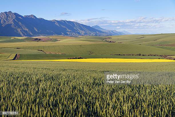 A canola and wheat farm with fields of both fields against the backdrop of the Langeberg mountains, Swellendam, Western Cape South Africa