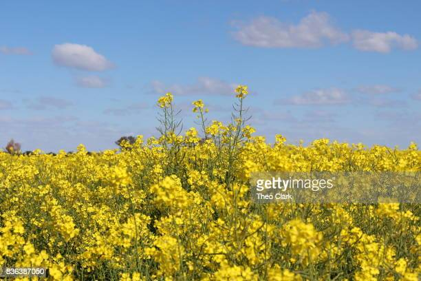 canola crop - margarine stock pictures, royalty-free photos & images