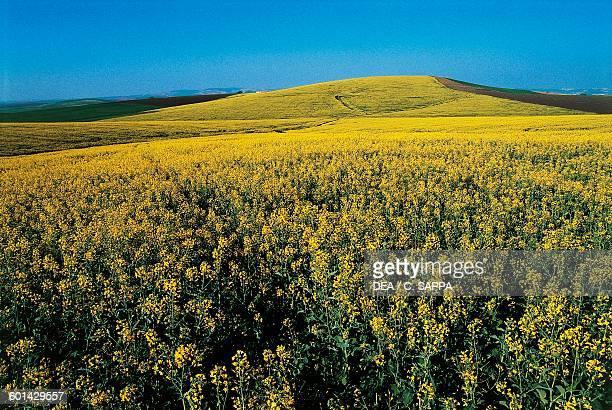 Canola crops around Ecija, Andalusia, Spain.