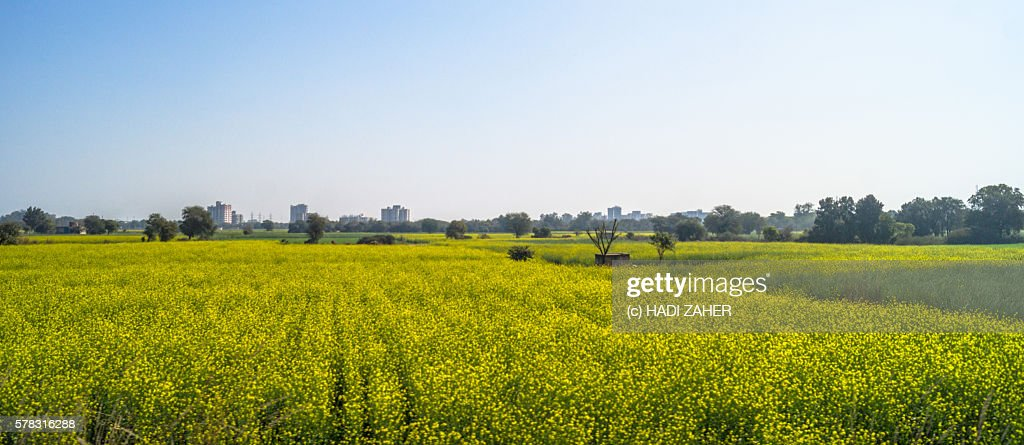 Canola Farm   Punjab   India : Stock Photo