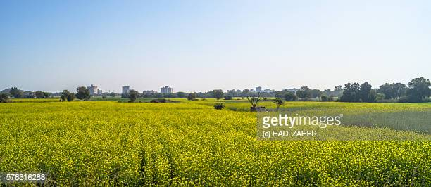 canola farm | punjab | india - punjab india stock pictures, royalty-free photos & images