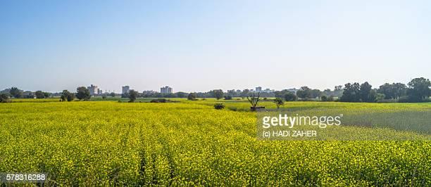 canola farm | punjab | india - punjab india stock photos and pictures