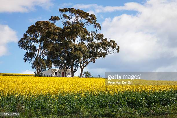 A canola farm with a small house beneath a huge bluegum tree in the canola field, Swellendam, Western Cape Province, South Africa