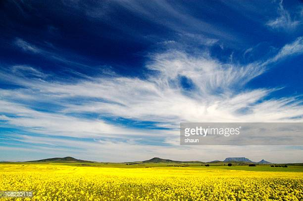 Canola Field Against Blue Sky with Clouds
