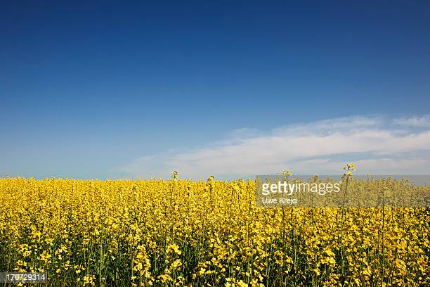 Canola field (bot. Brassica napus) and blue sky