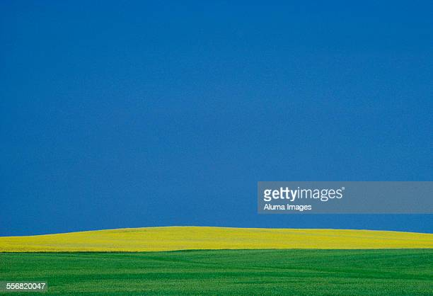 canola field and blue sky - canadian prairies stock photos and pictures