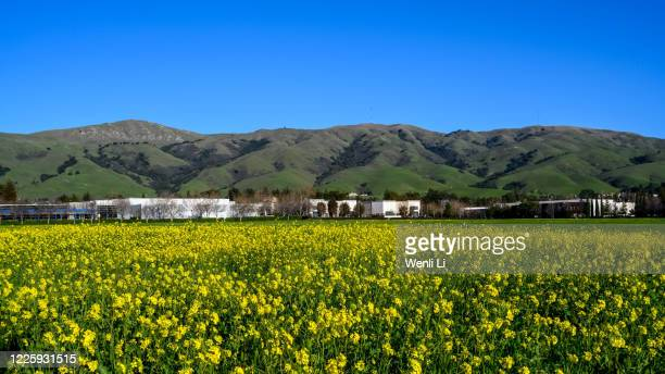canola field and green hills in northern california - fremont california stock pictures, royalty-free photos & images