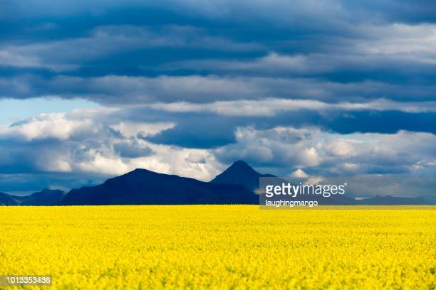 canola field canadian rockies - canadian prairies stock photos and pictures