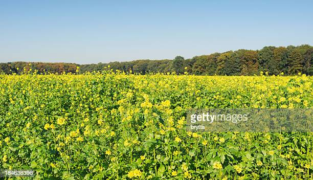 Canola field flowers blooming  in early autumn ,Flanders, Belgium