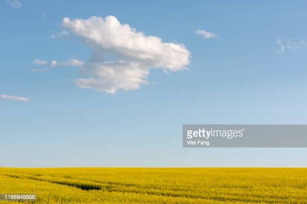 canola field in alberta - キャノーラ ストックフォトと画像