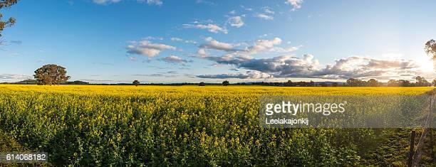 Canola field in Australia