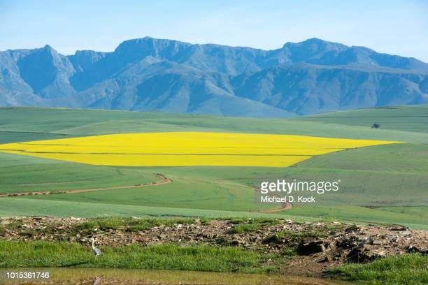 canola field in flower, grey heron at dam, riviersonderend mountains in the distance, overberg, western cape, south africa - overberg stock pictures, royalty-free photos & images