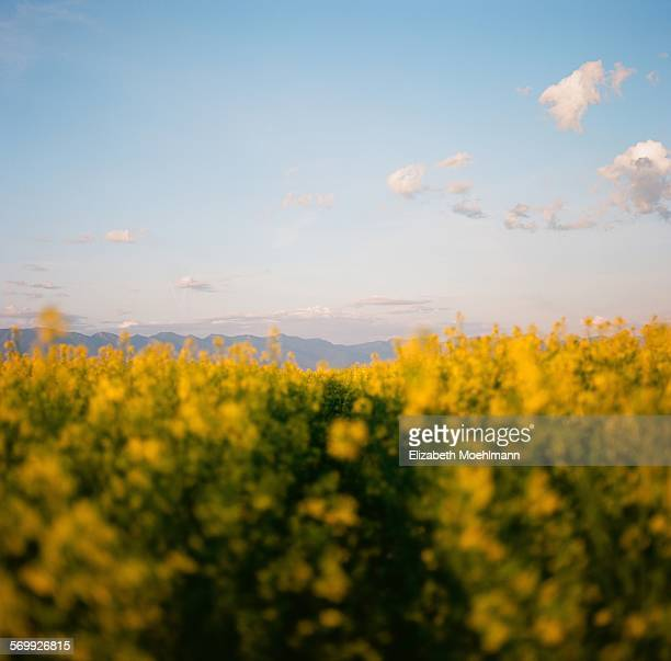 Canola field in Montana