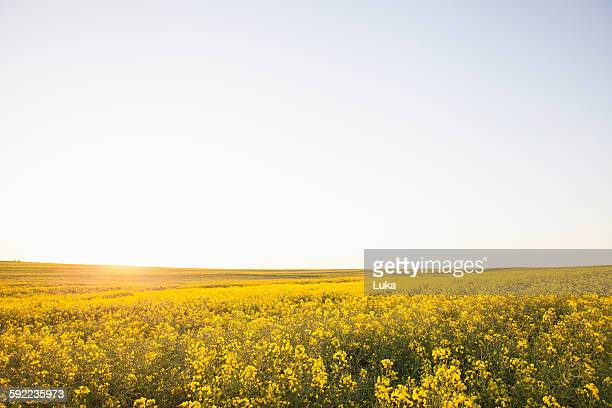 canola field in sunshine - oilseed rape stock pictures, royalty-free photos & images
