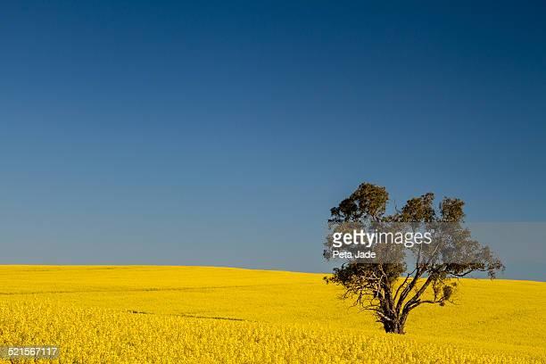 Canola Field Lone Tree