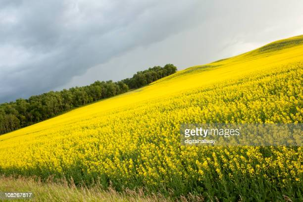 canola field on a summer evening - canola oil stock pictures, royalty-free photos & images