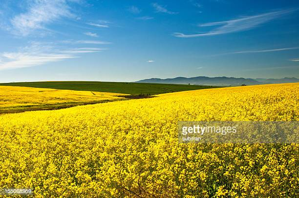 Canola(Rape) field