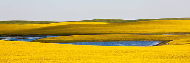Canola Field Wall Art