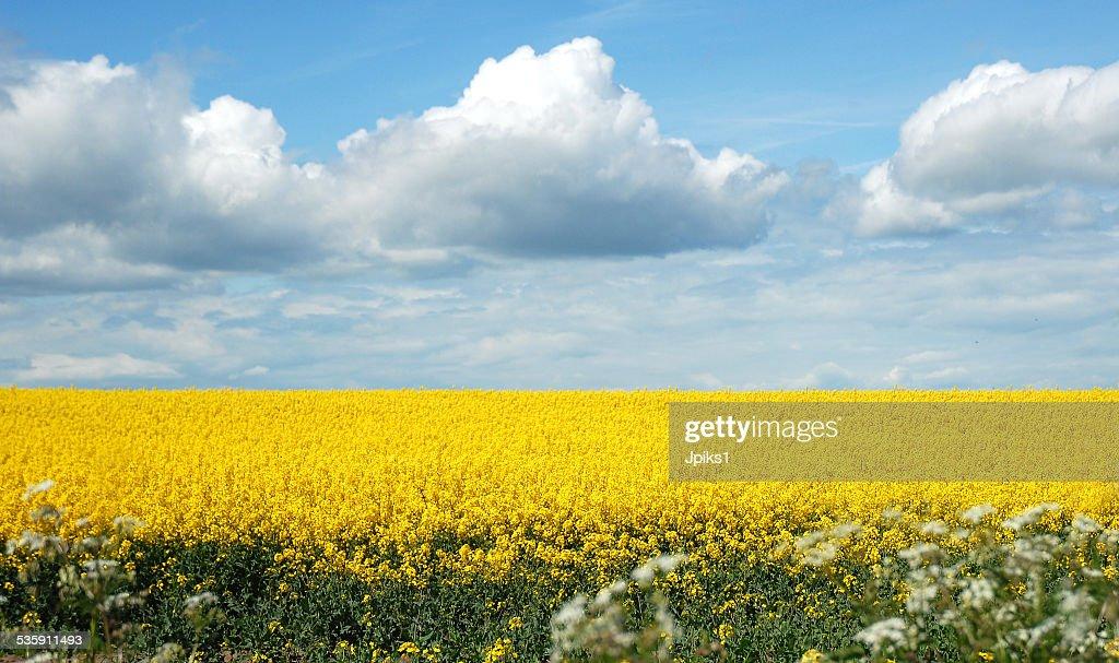 Canola field : Foto de stock