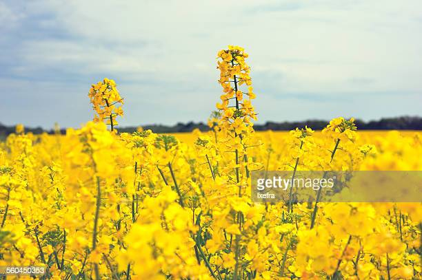 canola field - canola oil stock pictures, royalty-free photos & images
