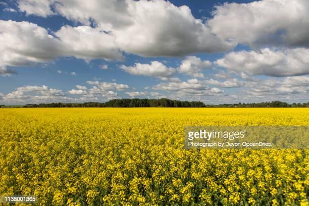 canola field under blue sky - alberta foto e immagini stock