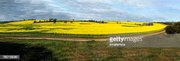 Canola field, Western Australia, Australia