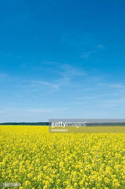 Canola field with dark blue sky