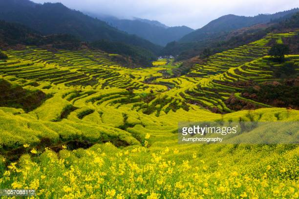 canola fields at jiangling village,wuyuan county, china. - canola oil stock pictures, royalty-free photos & images