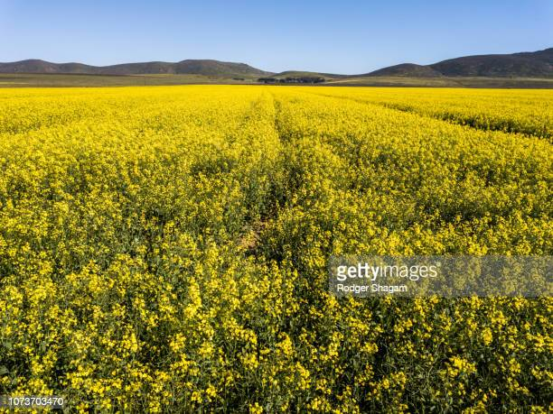 Canola fields in full bloom. Western Cape Province, South Africa.