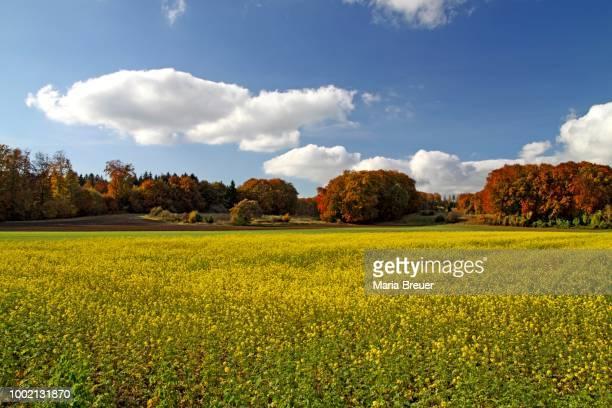 Canola fields, mustard fields, Andechs Abbey, Bavaria, Germany