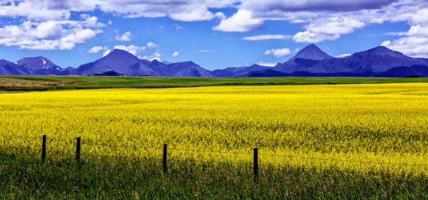 Canola Fields,Alberta, Canada