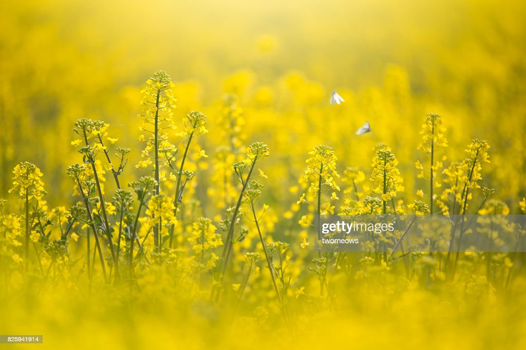 Canola filed and white butterflies. : Stock Photo