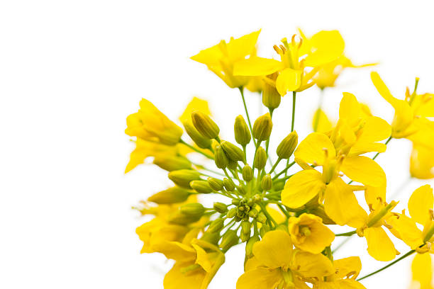 free canola flower images pictures and royalty free stock photos