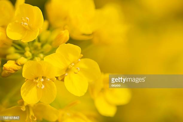 canola flower - oilseed rape stock pictures, royalty-free photos & images