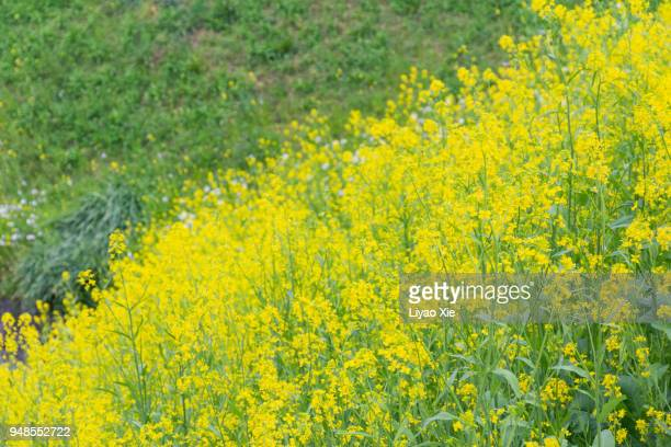 canola flower - liyao xie stock pictures, royalty-free photos & images
