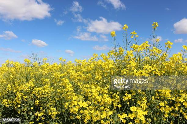 canola flowers against sky - canola oil stock pictures, royalty-free photos & images