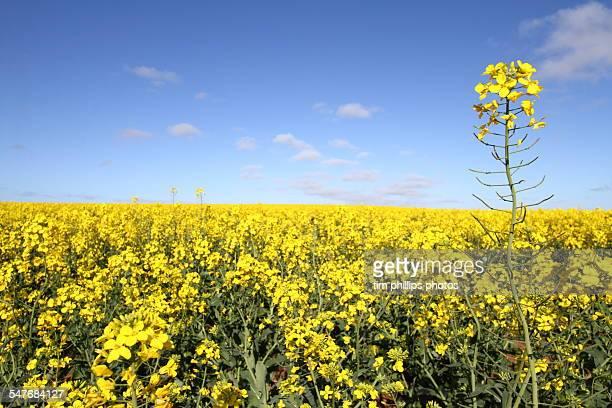 Canola flowers in field