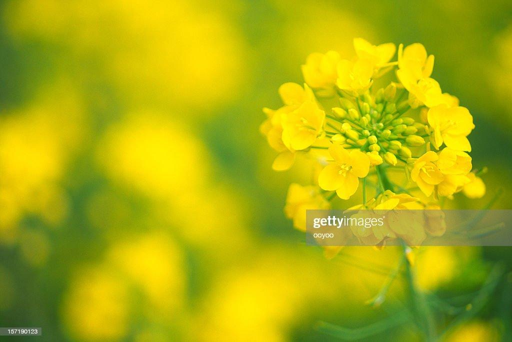 Canola Blumen : Stock-Foto