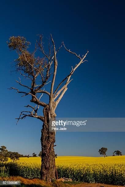 Canola Paddock Tree