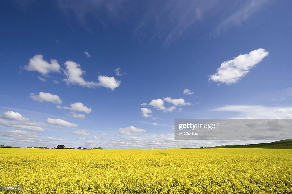 Canola / Rape Seed Field : Stock Photo