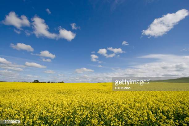 Canola / Rape Seed Field