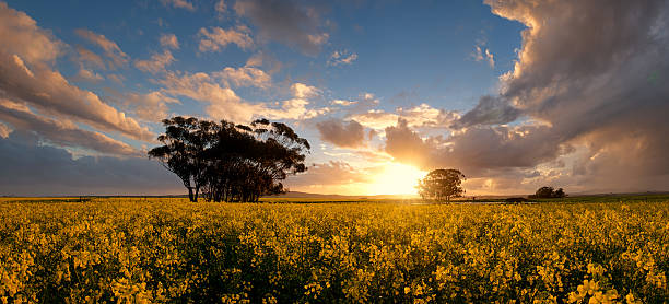 Canola Sunset Panorama