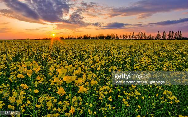 canola sunset - manitoba stock pictures, royalty-free photos & images
