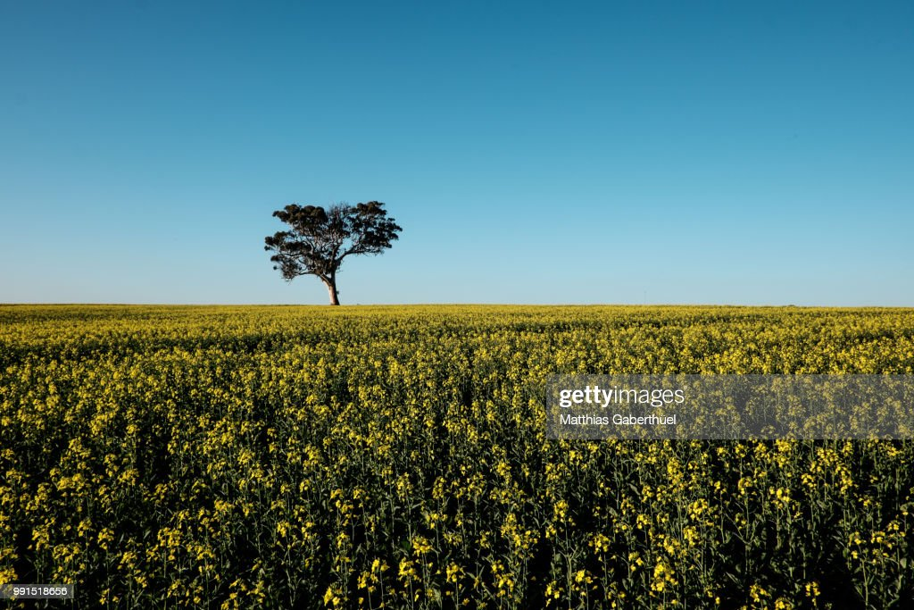 canola tree : Stock-Foto