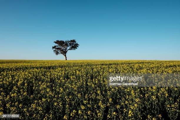 canola tree - matthias gaberthüel stock pictures, royalty-free photos & images