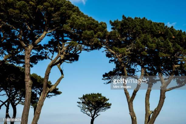 canopies of monterey pine trees against a clear blue sky. - trädkrona bildbanksfoton och bilder
