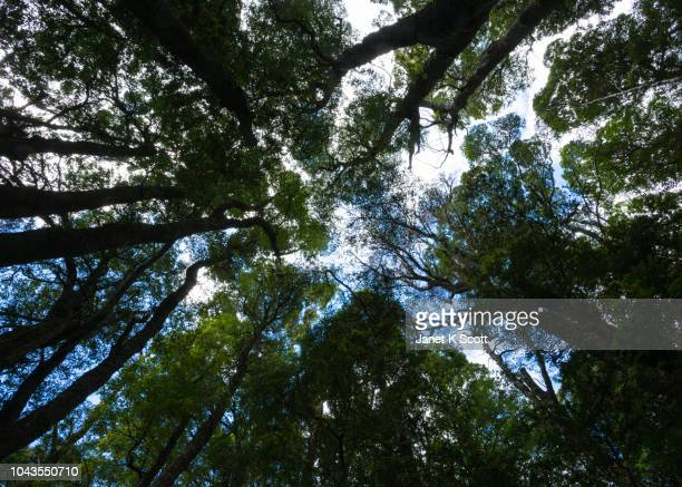 Canopy of a Eucalyptus Forest