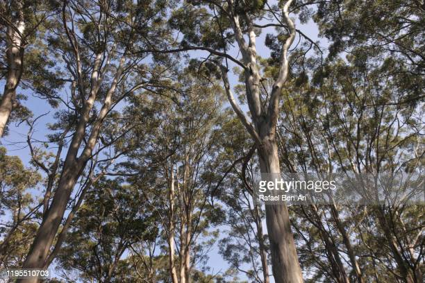 canopy of giant karri trees in south western australia - rafael ben ari stockfoto's en -beelden